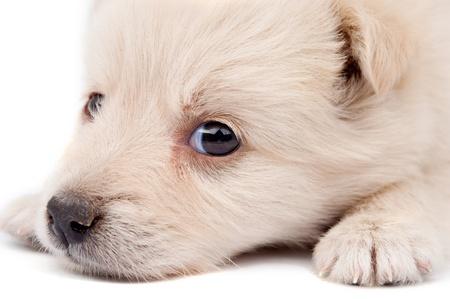 beige puppy on white background Stock Photo - 10445217