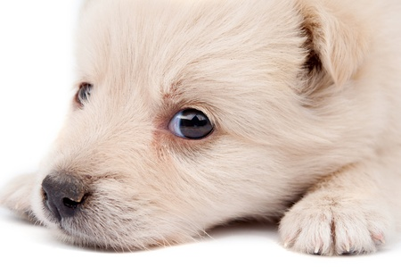 beige puppy on white background Stock Photo - 10445217