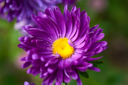 blooming. purple: aster growing in the flowerbed