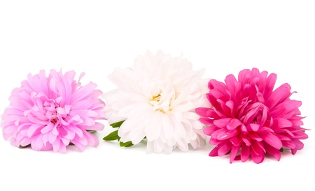 chinensis:  aster on a white background Stock Photo