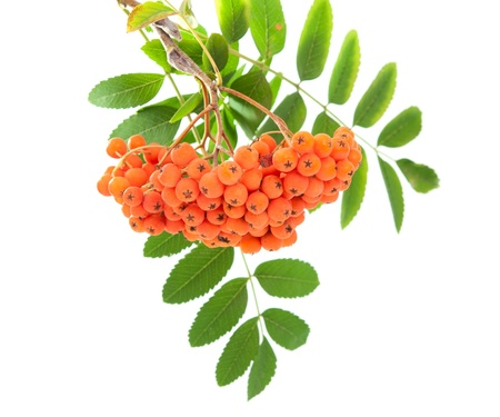 rowanberry:  rowanberry on a white background