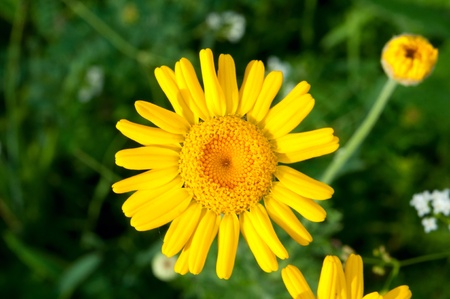 clr: yellow flowers of the meadow