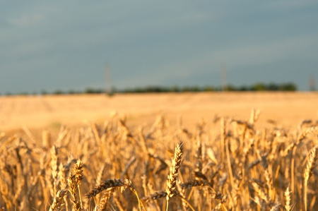 shvat: ears of wheat on the field   Stock Photo