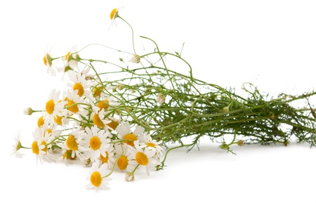 chamomile flower: medical daisy on white background