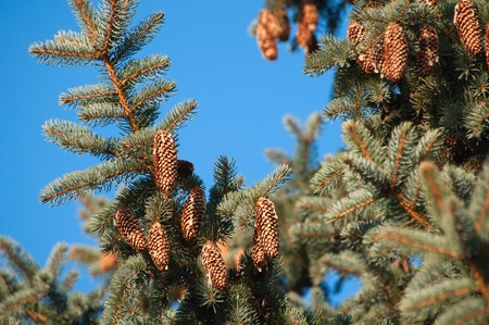 fir with cone against the blue sky photo
