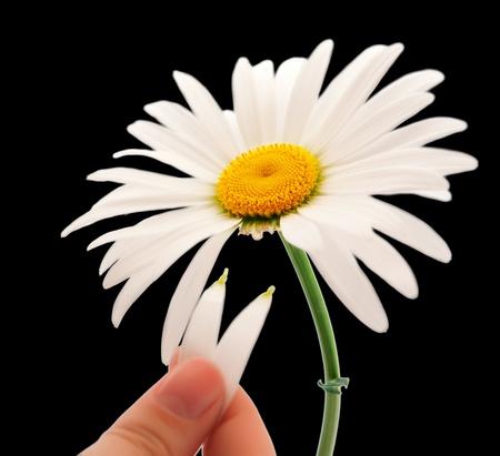 oxeye: daisy on a black background