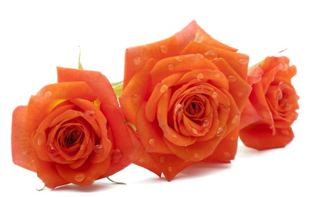 orange rose with drops on a white background photo