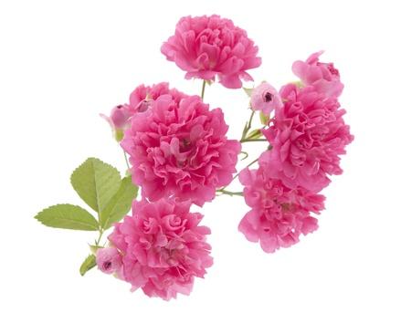 rama de curling rosas sobre un fondo blanco