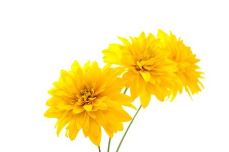 yellow flowers on white background photo
