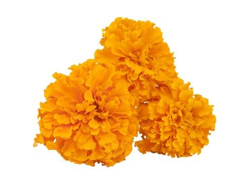 ringelblumen: Ringelblume auf wei�em Hintergrund Lizenzfreie Bilder