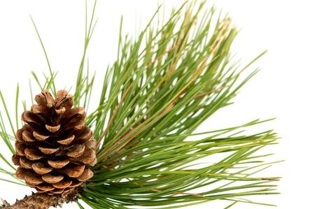 Pine cone: branche avec c�ne de pin sur fond blanc Banque d'images