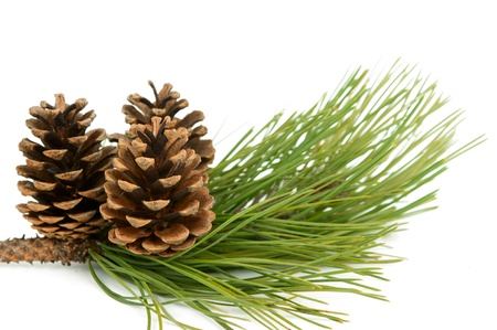 branch with pine cone on white background