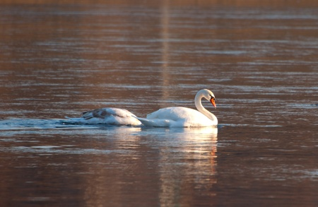 swans floating on the river photo