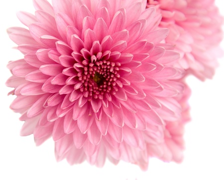 chrysanthemums: pink aster isolated on white background