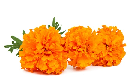 marigold flowers isolated on white background photo