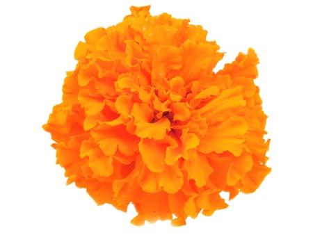 tagetes: marigold flowers isolated on white background
