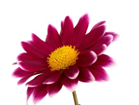 kamille: chrysanthemum isolated on white background