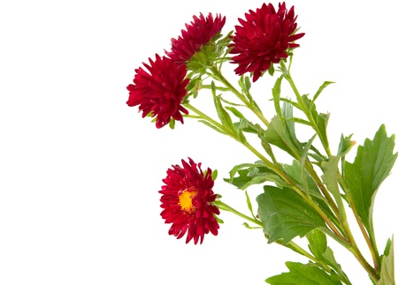 kamille: chrysanthemum isolated on white background