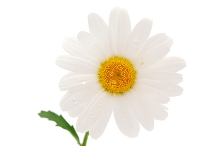 bl: daisy isolated on a white background
