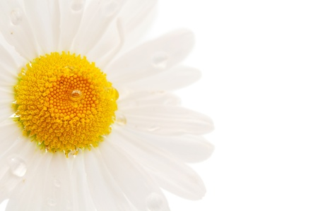 kamille: daisy isolated on a white background
