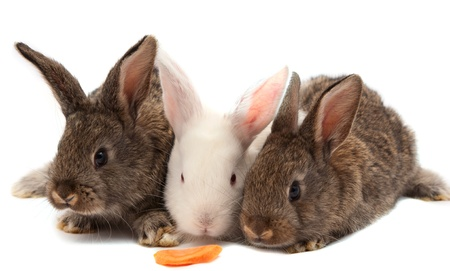 rabbits isolated on white background photo