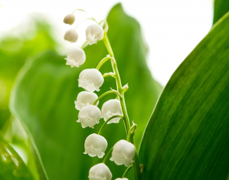 lily of the valley: lily of the valley on a white background Stock Photo