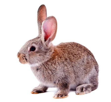 bunny rabbit: gray rabbit isolated on white background Stock Photo