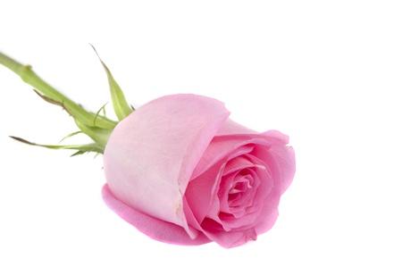 rosa Rose auf weißem Hintergrund