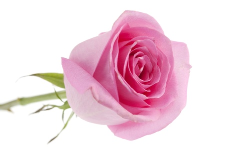 clr: pink rose isolated on white background