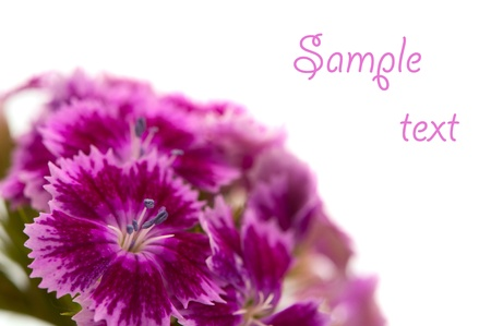 carnations isolated on white background Stock Photo - 12360751