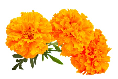 Marigold flower on a white background Stock Photo