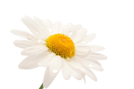 daisy with dew drops isolated on white background photo
