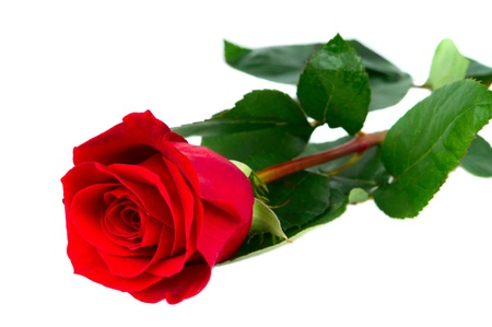 rote: red rose isolated on white background