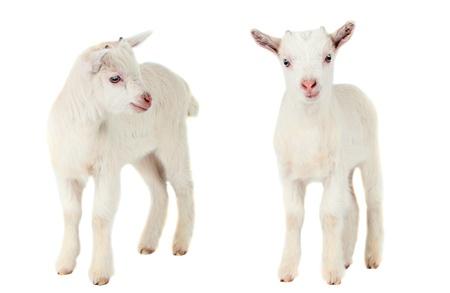 Weiße Ziege auf weißem Hintergrund