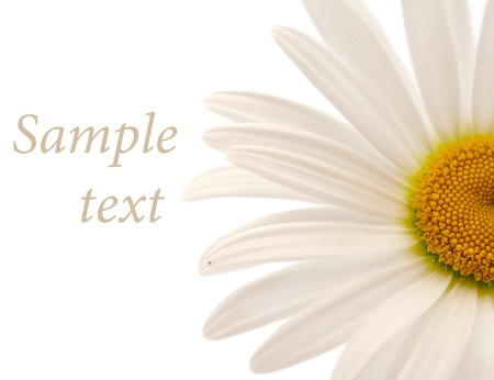 kamille: daisy on a white background