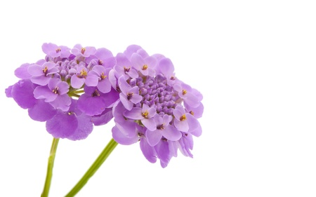 flowers horizontal: purple flower isolated on white background