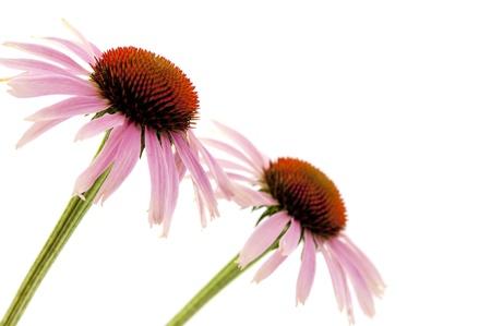 Echinacea flowers isolated on white background Stock Photo - 12860992