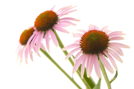Echinacea flowers isolated on white background photo