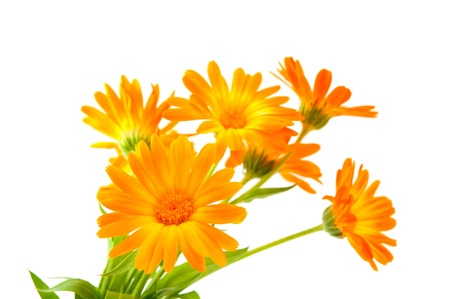 Calendula flower isolated on white background photo