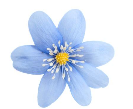 blue flower isolated on white background Stock Photo - 12861581