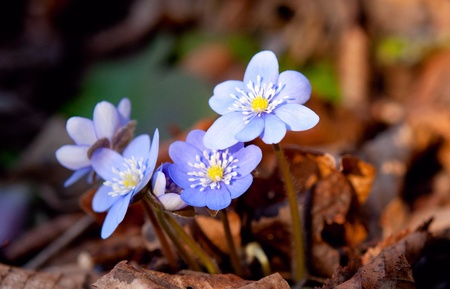first spring blue flowers in the woods photo
