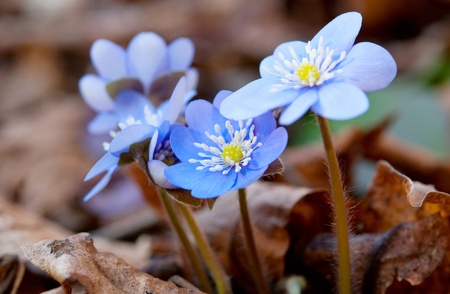 first spring blue flowers in the woods Stock Photo