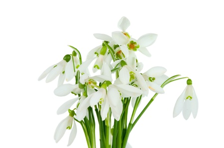 bunch of snowdrops isolated on white background photo