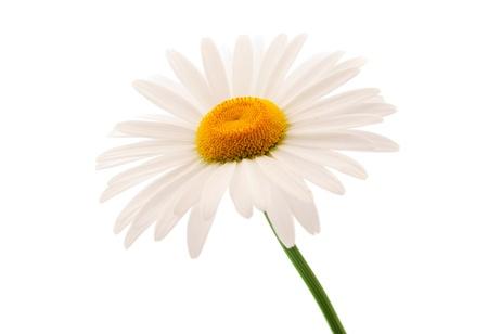Daisy auf einem weißen Hintergrund