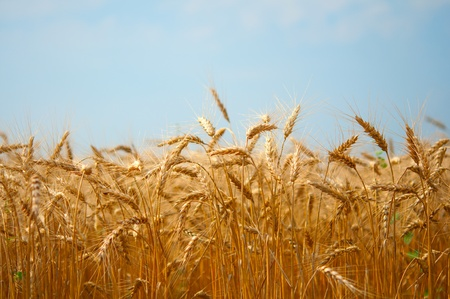 field of wheat on blue sky background photo