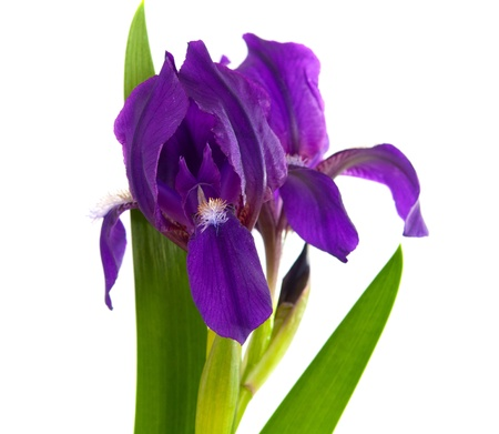Iris flower isolated on white background photo