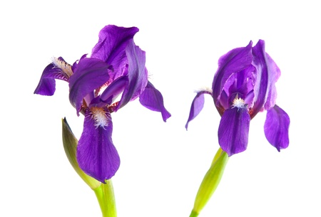 body scape: Iris flower isolated on white background