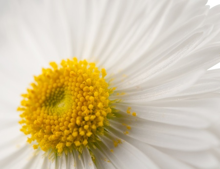 kamille: background of a white daisies