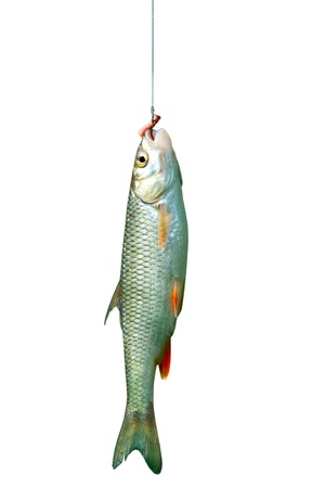 fish on a hook isolated on white background photo
