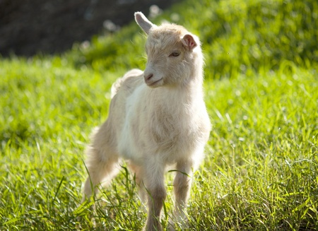 goat grazing in the meadow Stock Photo - 13640308